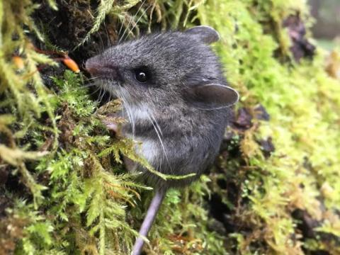 Deer Mouse on Douglas Fir Tree